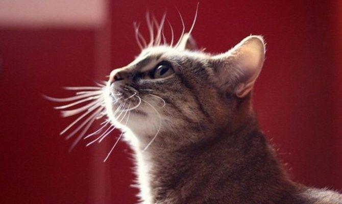 Слабый иммунитет у котенка