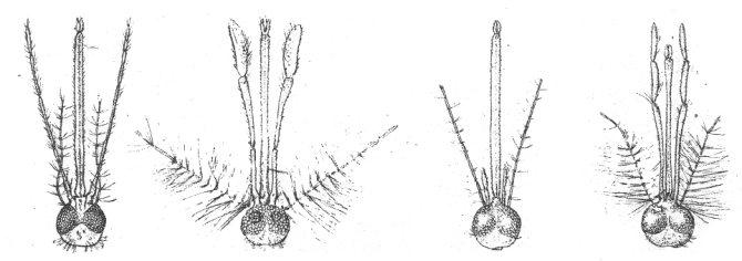 Слева направо: головы самки и самца обычного, не малярийного, комара, головы самки и самца малярийного комара