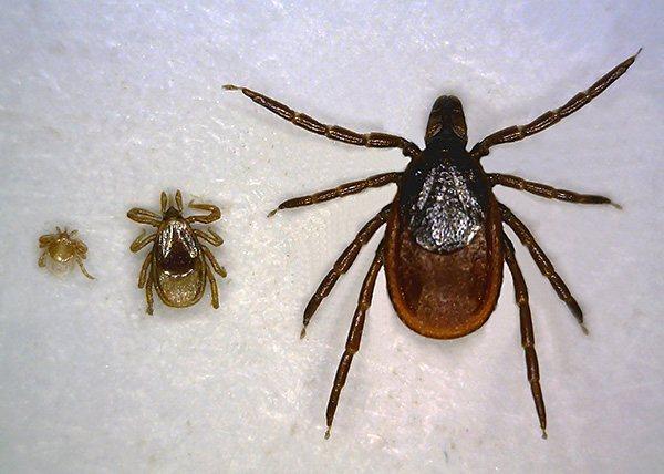 Слева направо: личинка, нимфа и взрослая особь (имаго).
