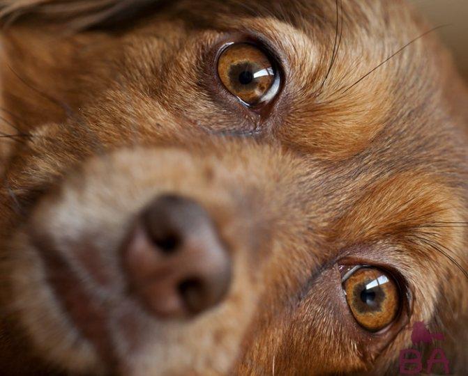 Слезятся глаза у собаки