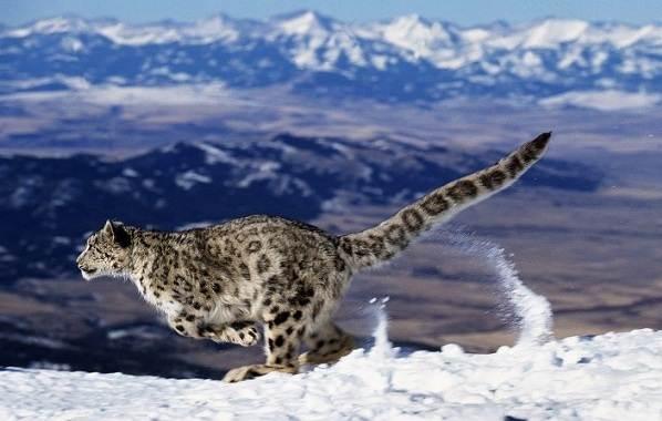 Снежный-барс-Среда-обитания-и-образ-жизни-снежного-барса-12