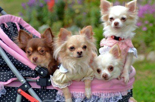 Собачки чихуахуа в коляске