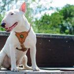 Собака бультерьер – история и стандарт, особенности характера, является ли опасным животное, плюсы и минусы