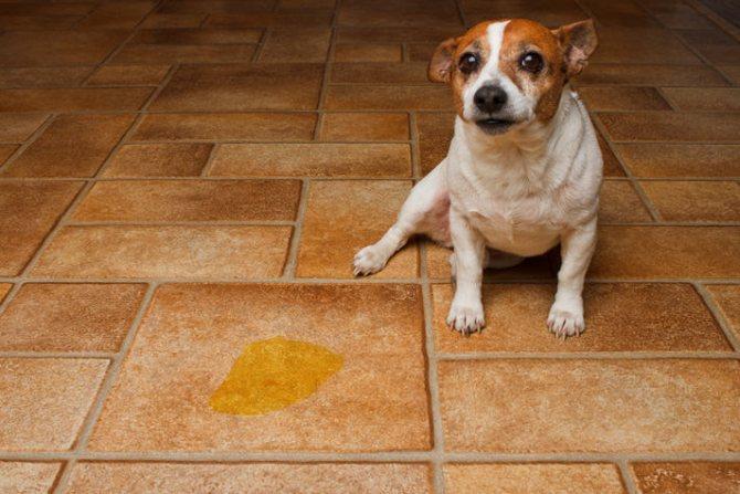 собака часто мочится из-за гормональных расстройств