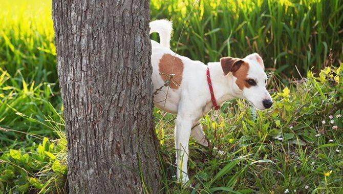 собака часто мочится когда метит территорию