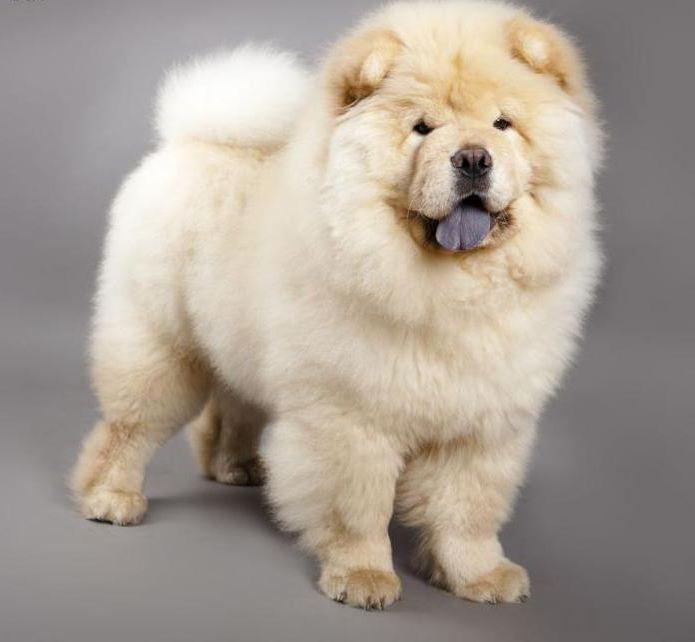собака Чау-Чау