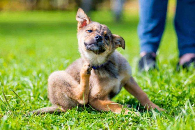 Собака чешется от стресса