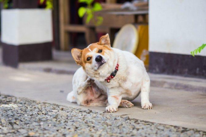 Собака чешется от воспаления анальных желез