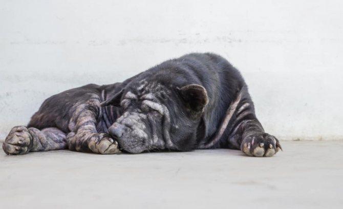 Собака чешется при кожных заболеваниях