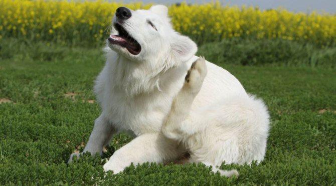 Собака чешится