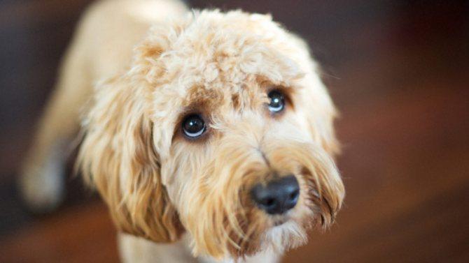 Собака дрожит при гипогликемии