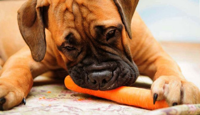 Собака ест морковь