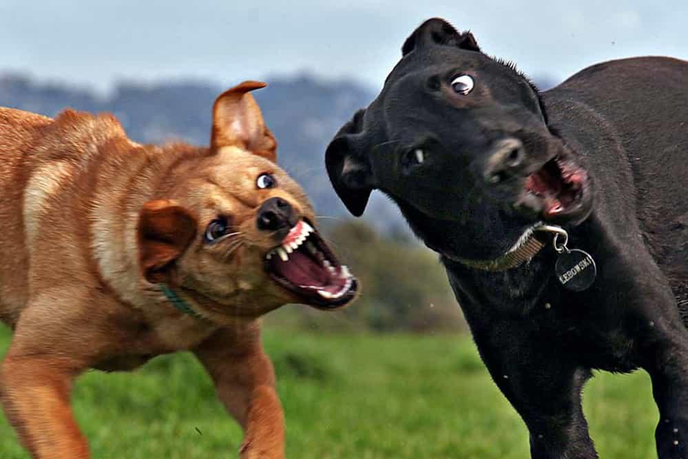 собака фасом атакуют собаку