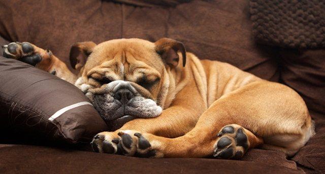 Собака храпит - причины, симптомы заболеваний и как с этим бороться