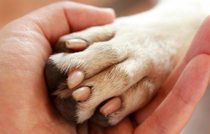 Собака хромает на переднюю лапу видимых повреждений нет