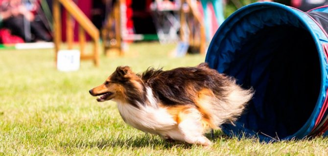 Собака и аджилити фото
