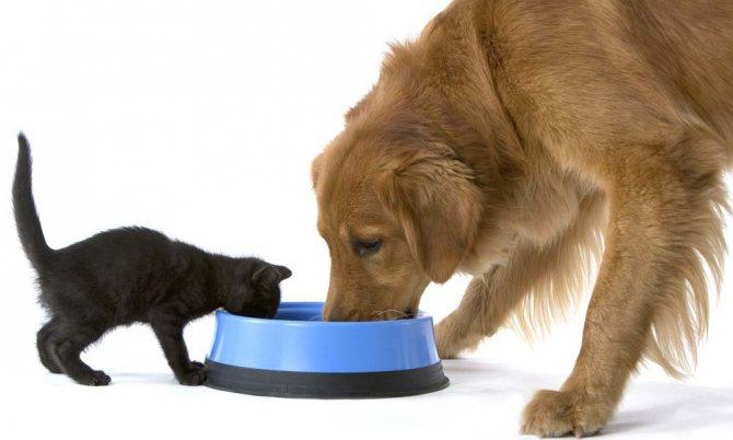 собака и кошка едят из одной миски