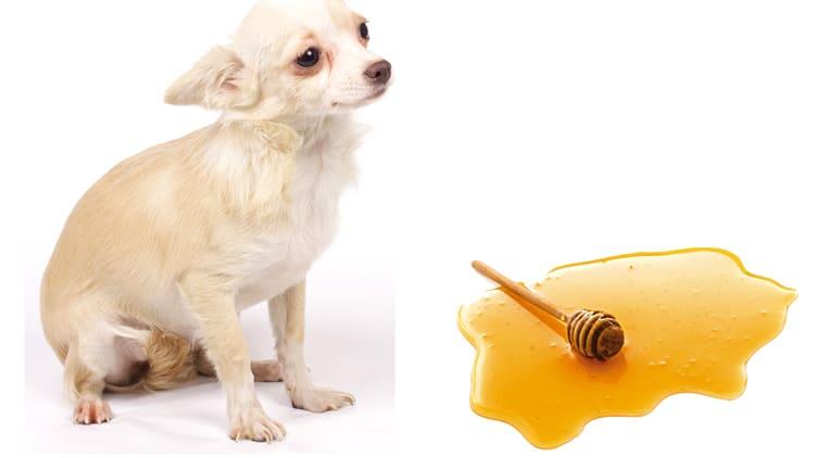 Собака и мед