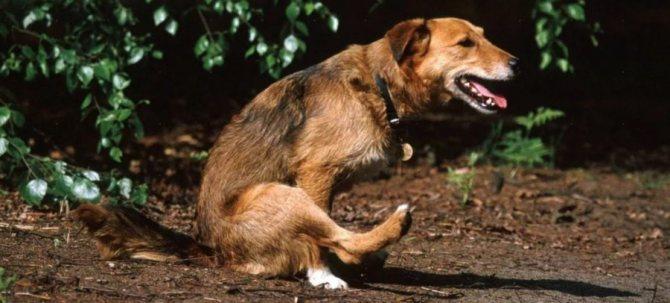 собака катается на попе