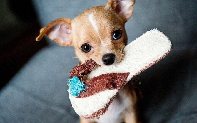 sobaka kompanon1 - Лучшие собаки компаньоны: обзор с фото