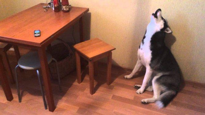 Собака лает дома
