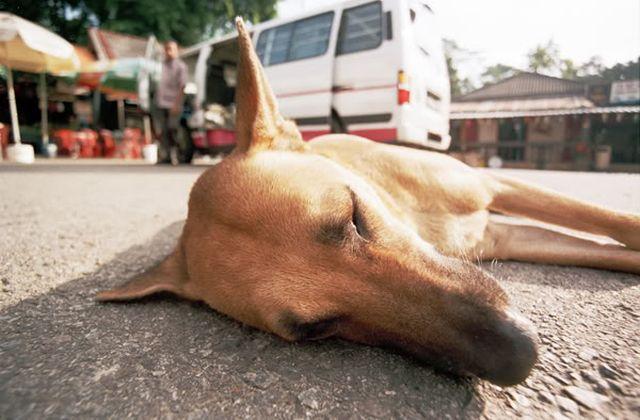 Собака лежит на дороге