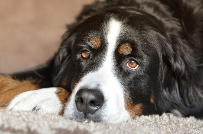 Собака лежит на ковре