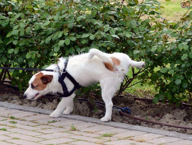 собака на прогулке писает на кустики