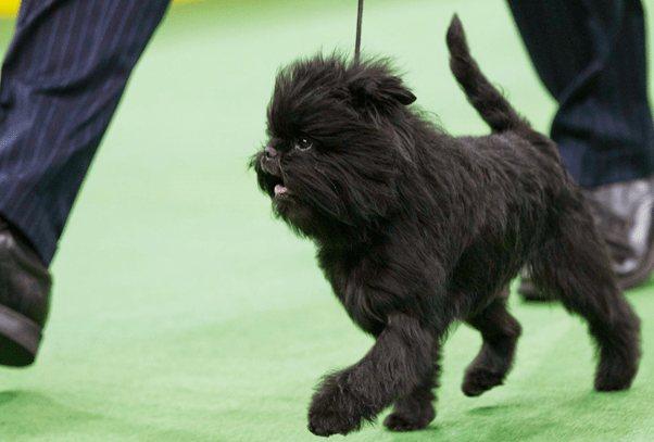 Собака на выставке.