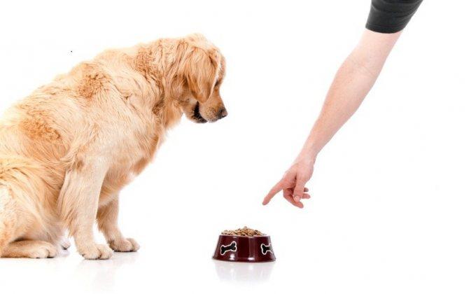 Собака не хочет кушать перед родами
