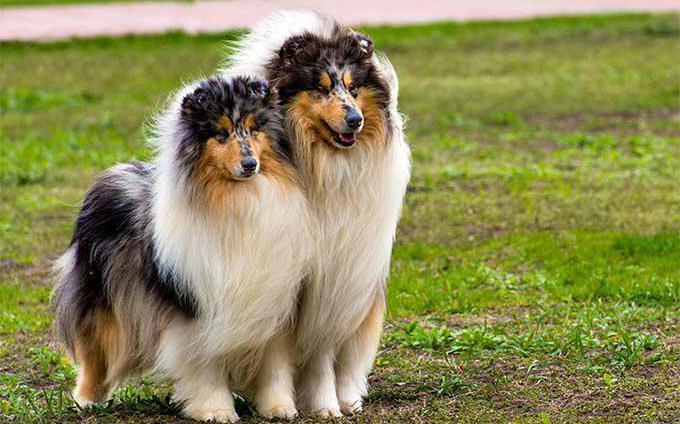 собака похожая на лису пушистая