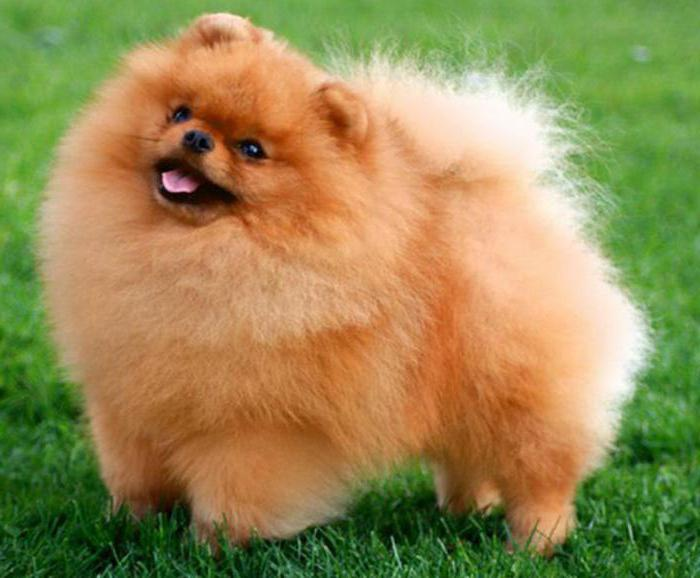 собака похожая на лису с короткими лапами