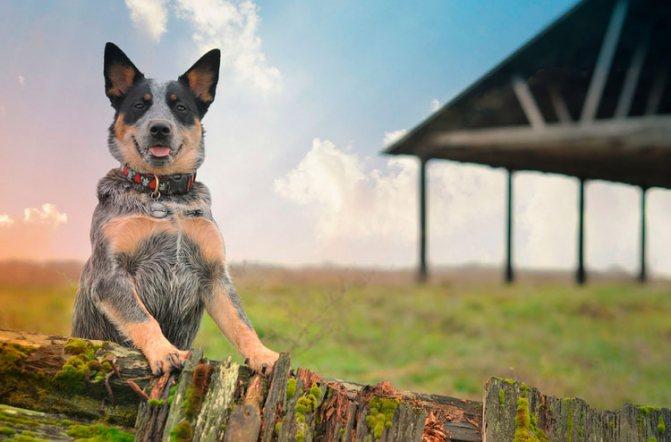 собака породы Австралийский хилер