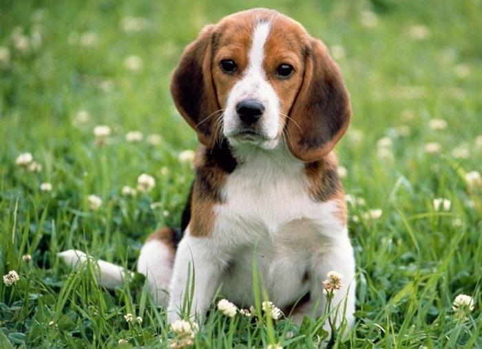 Собака породы бигль-харьер