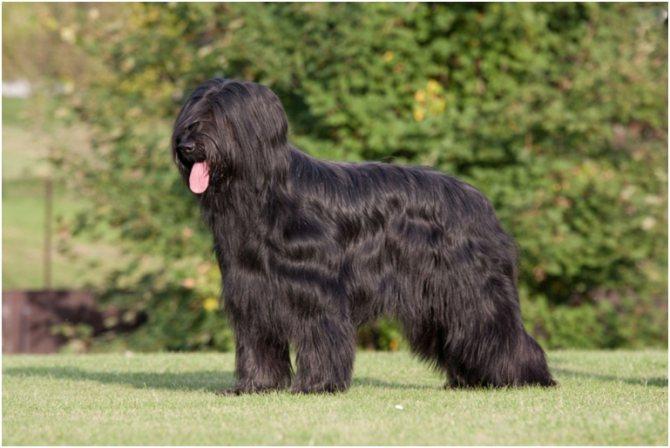 Собака породы бриар