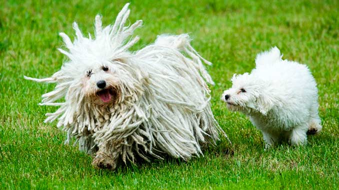 Собака породы пули со щенком фото