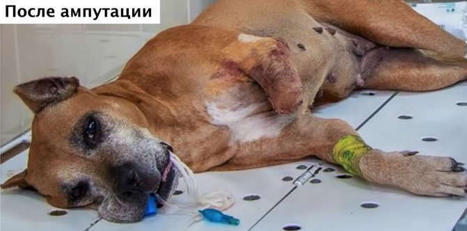 Собака после ампутации конечности