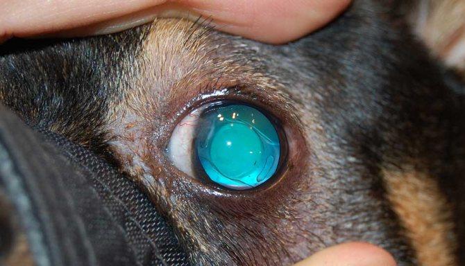 Собака после проведения факоэмульсификации