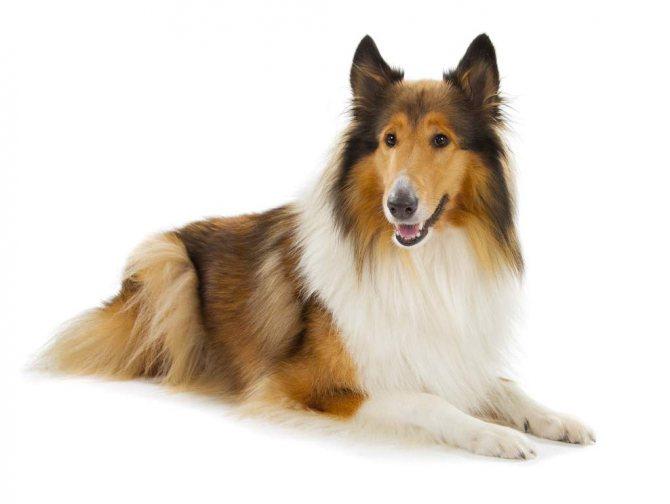 собака поводырь фото
