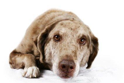 Собака при пироплазмозе будет вялая