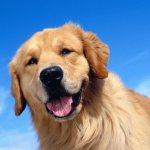 Собака Прямошерстный ретривер