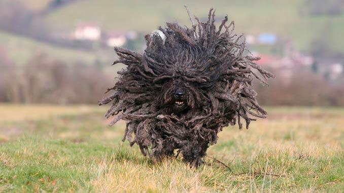 Собака пули черного окраса фото
