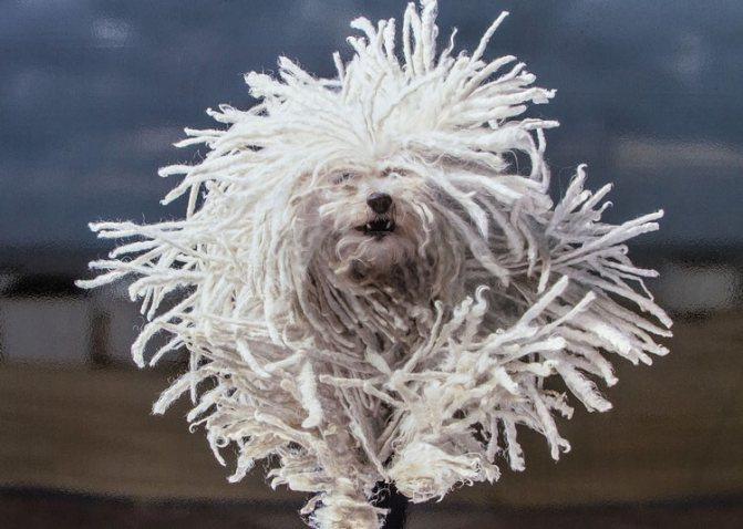 собака пули имеет крепкий иммунитет