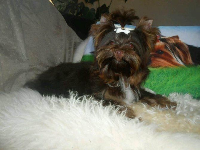 Собака с белым бантиком