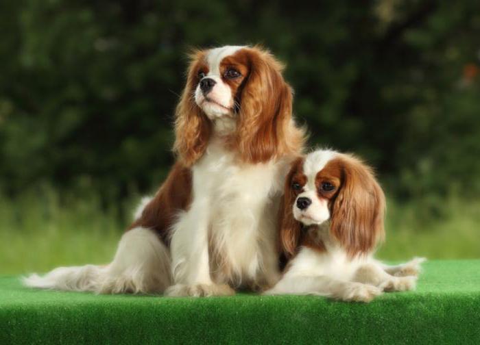 собака с длинными ушами порода