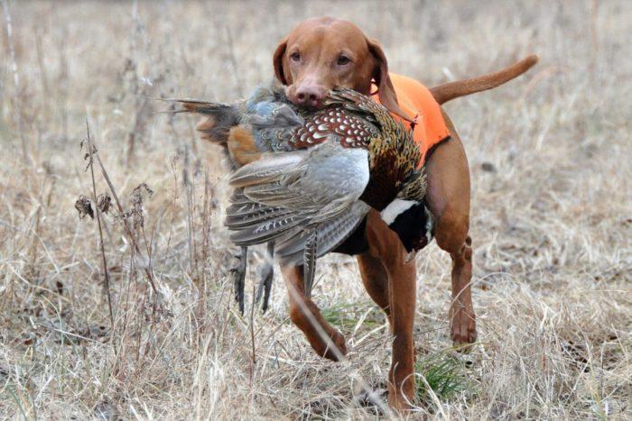 Собака с фазаном
