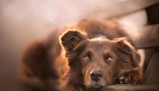 Собака с желтыми белками глаз