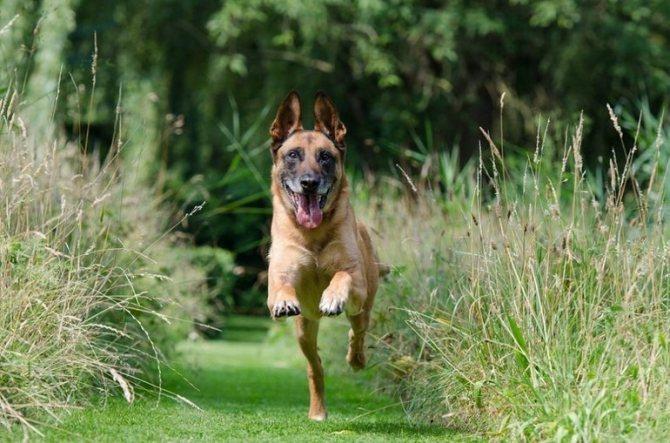 Собака-сангвиник
