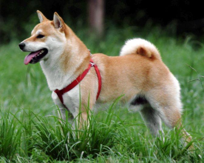 собака шиба-ину