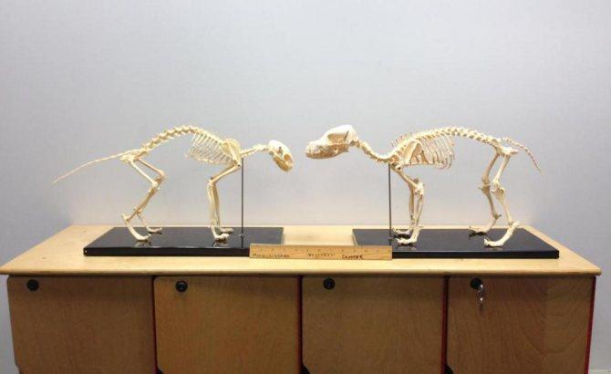 собака скелет
